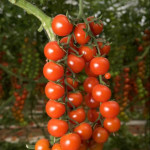 Pomodoro-3-1024x680_mini