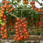 Pomodoro-4-1024x680_mini
